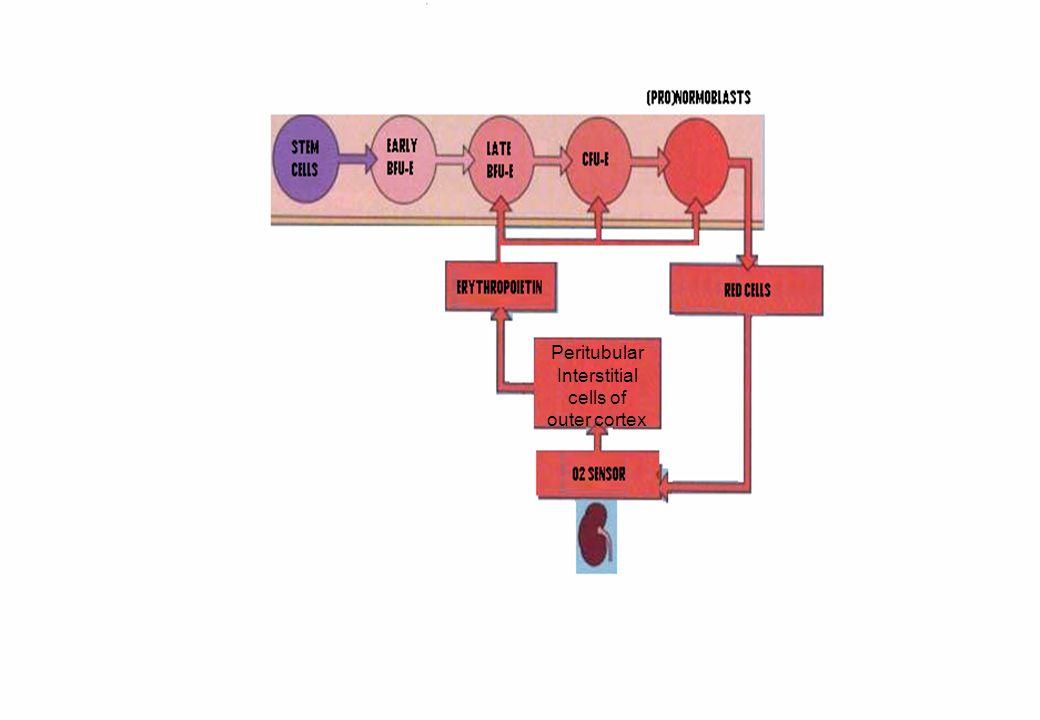 ADHESION MOLECULES Immunoglobulin superfamily – Antigen receptors, T-cell receptors, growth factor receptors.