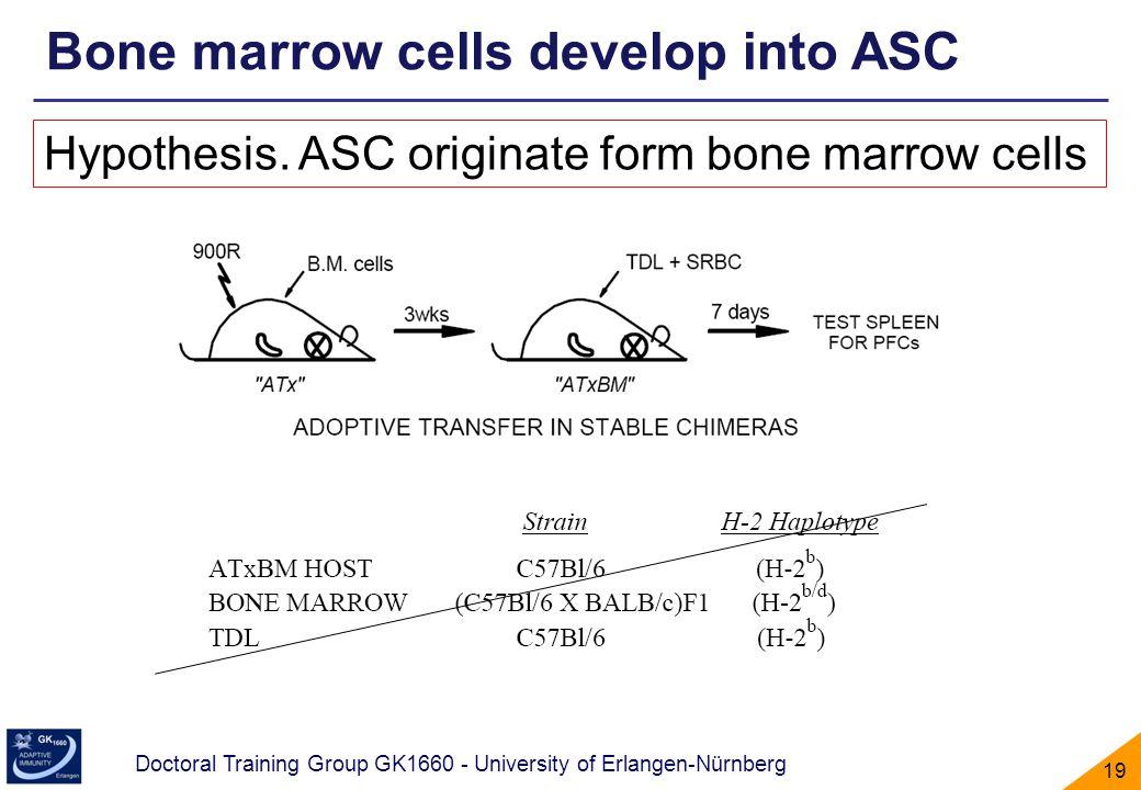 Bone marrow cells develop into ASC