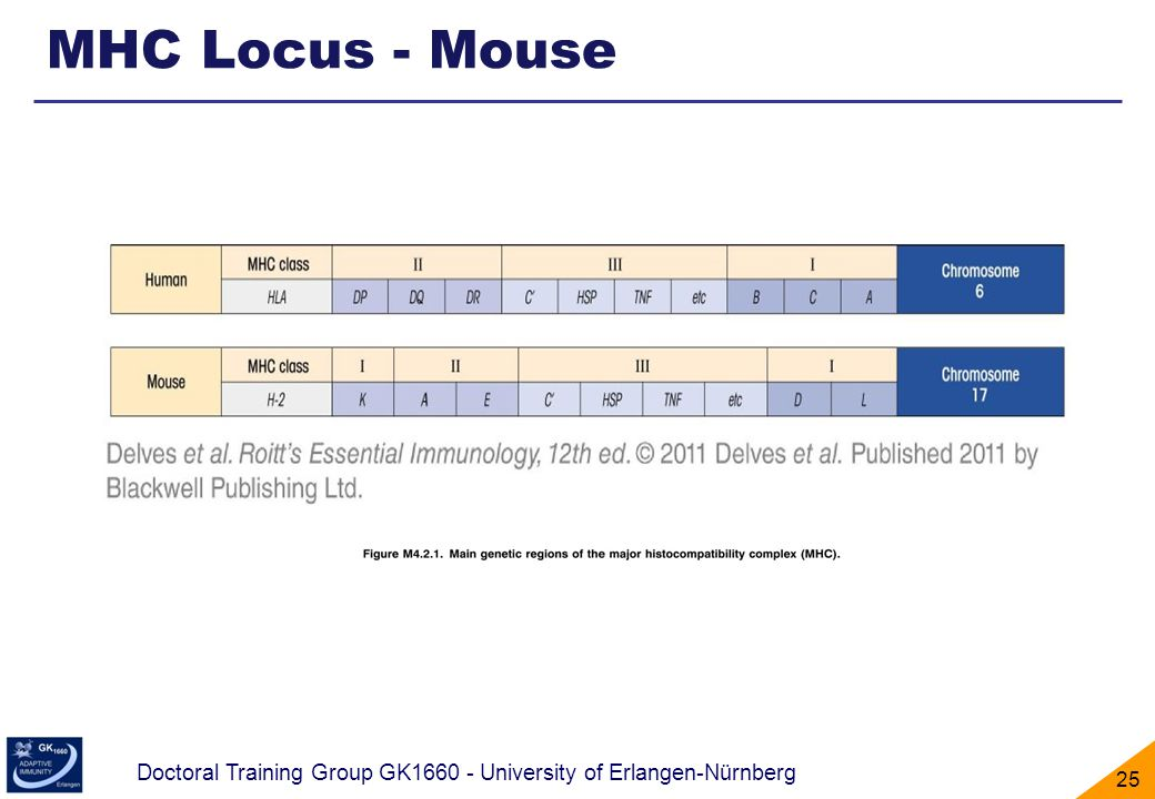 MHC Locus - Mouse