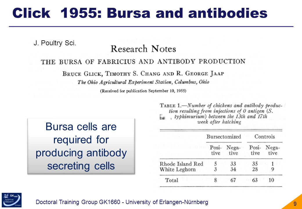 Bursa cells are required for producing antibody secreting cells