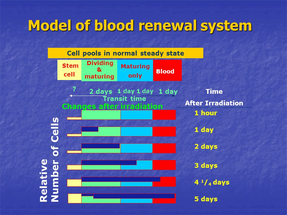 Model of blood renewal system