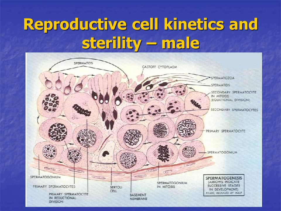 Reproductive cell kinetics and sterility – male