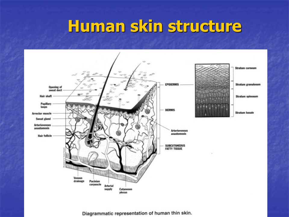 Human skin structure Cellularity