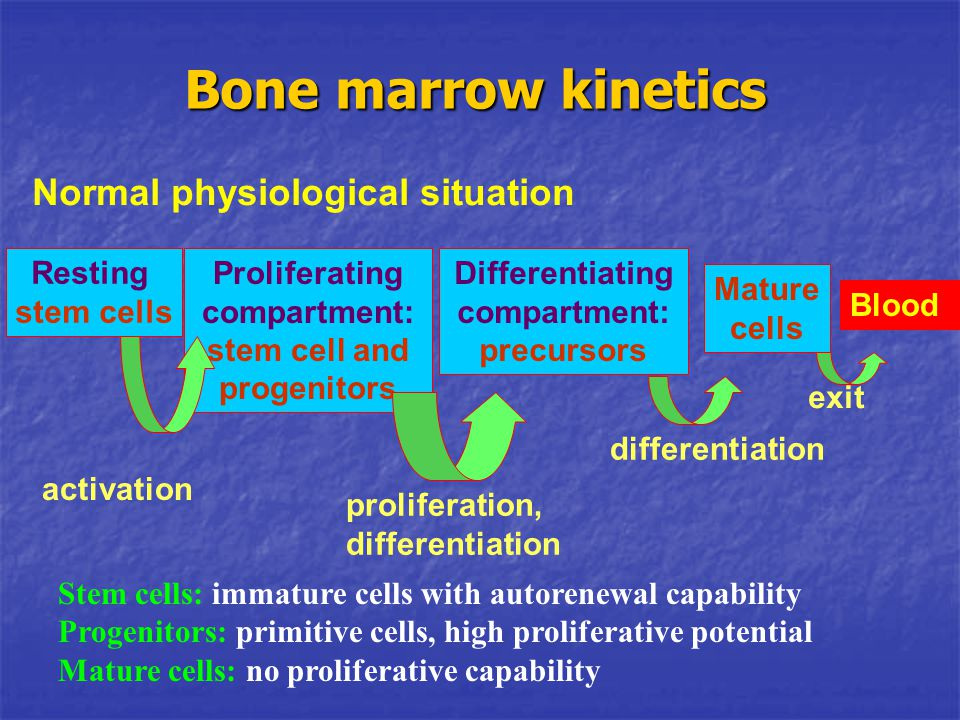 Bone marrow kinetics Normal physiological situation Resting stem cells
