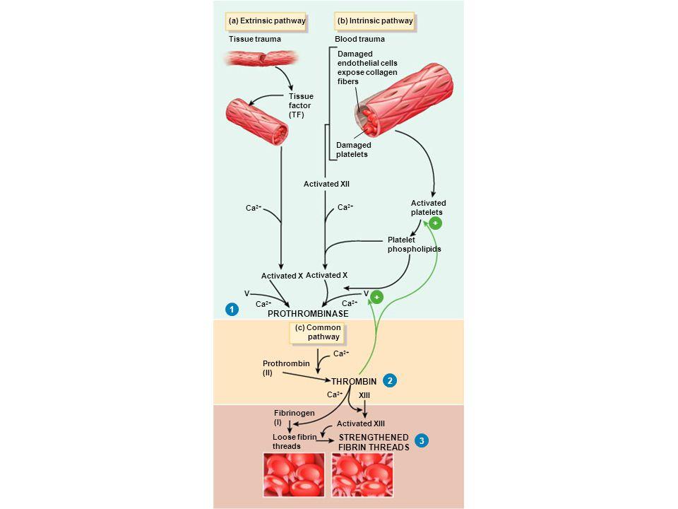 PROTHROMBINASE 1 PROTHROMBINASE THROMBIN 1 2 + PROTHROMBINASE THROMBIN