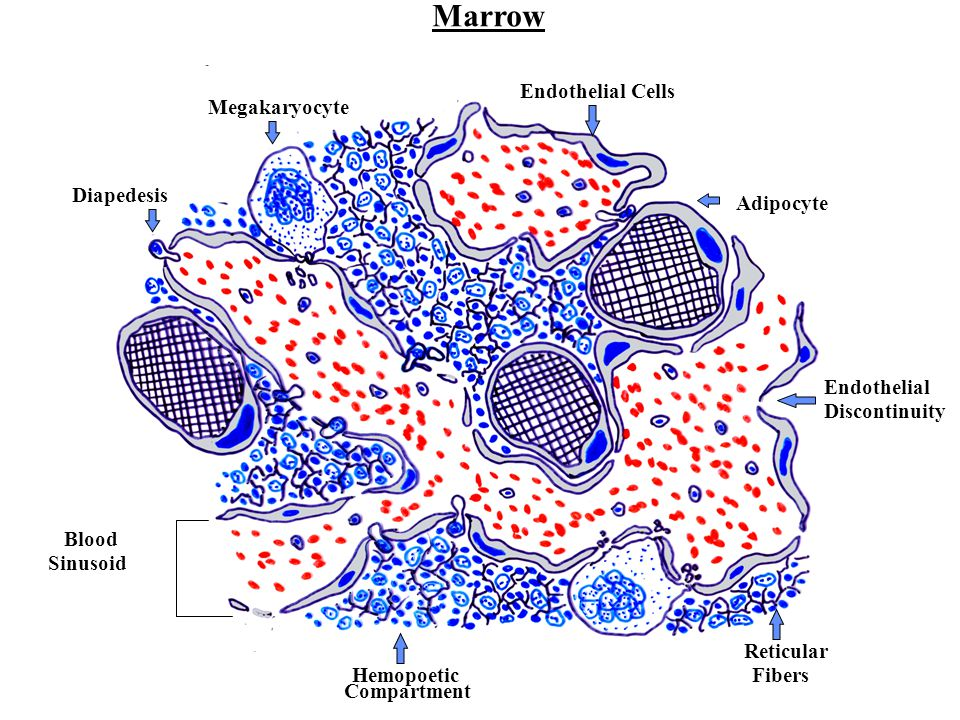 Marrow Endothelial Cells Megakaryocyte Diapedesis Adipocyte