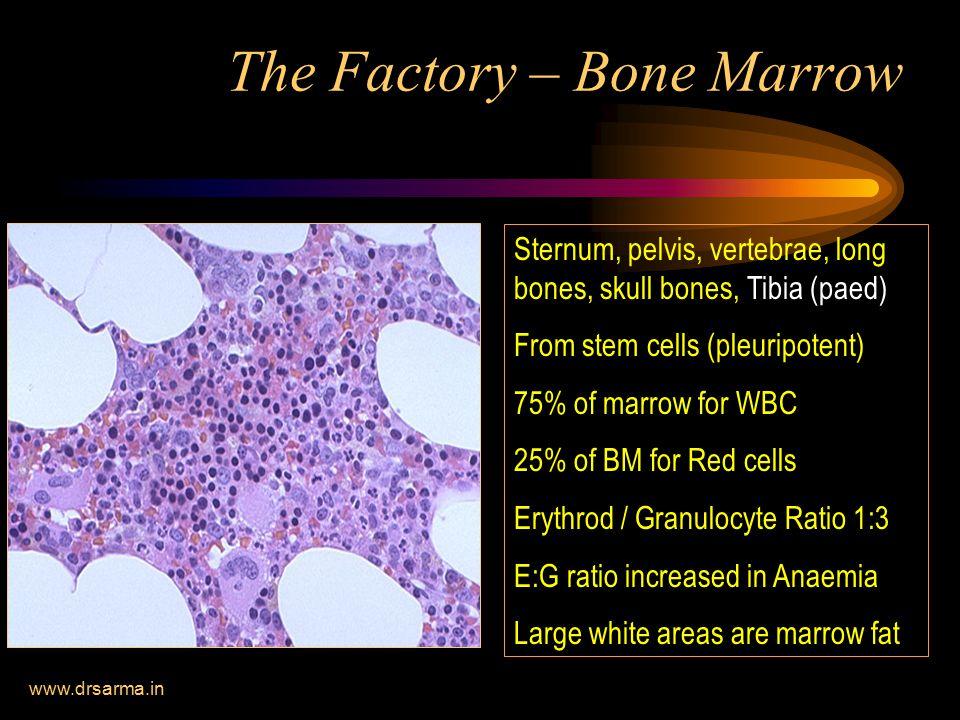 The Factory – Bone Marrow