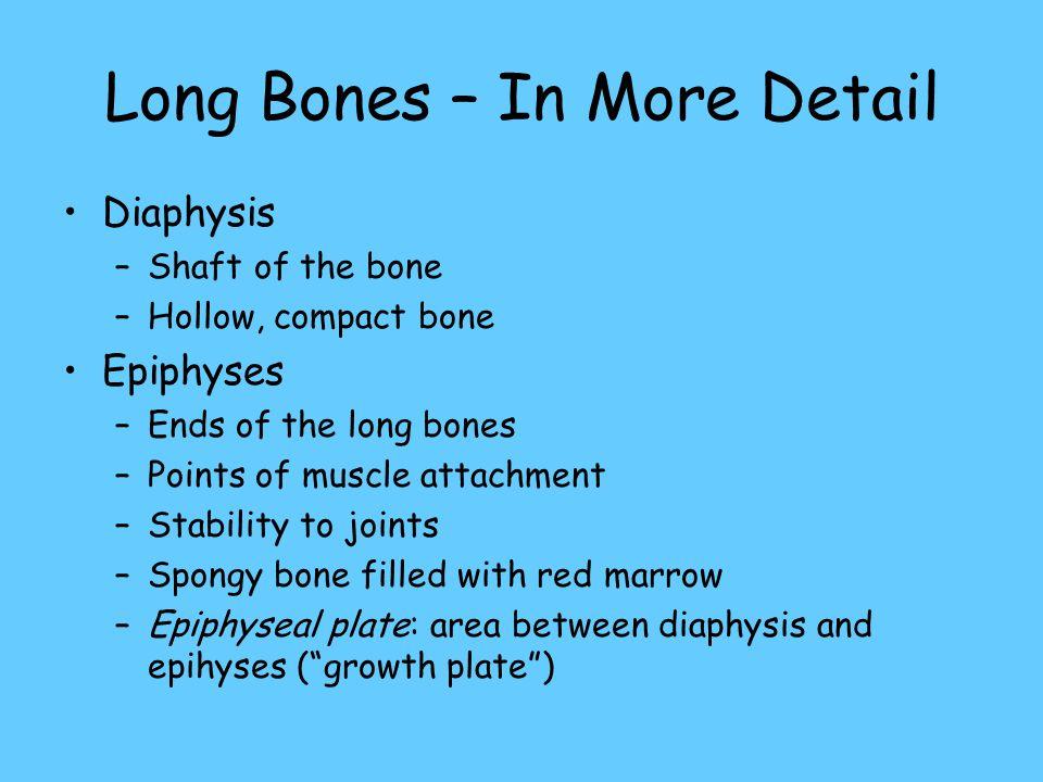 Long Bones – In More Detail