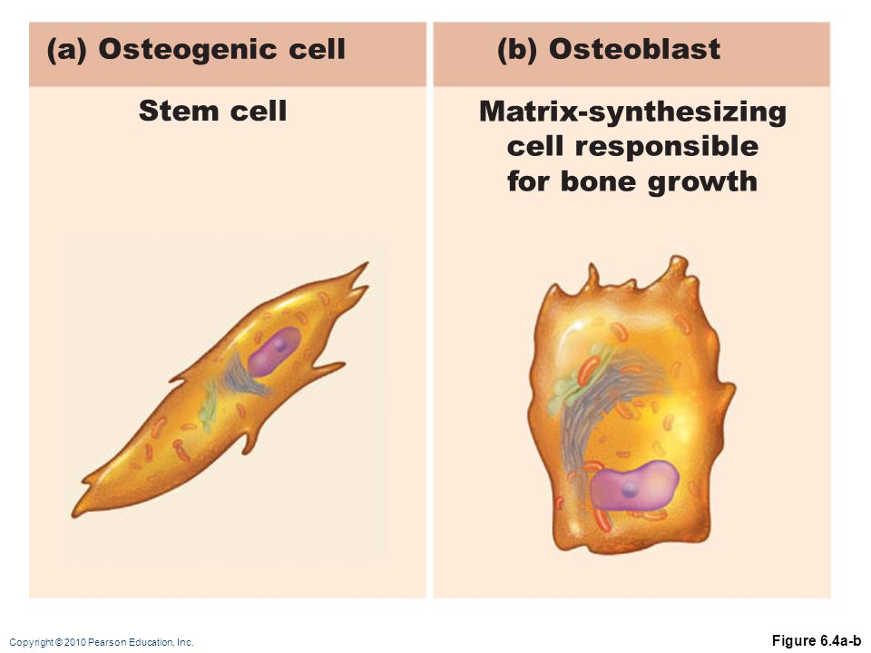 (a) Osteogenic cell (b) Osteoblast Stem cell Matrix-synthesizing
