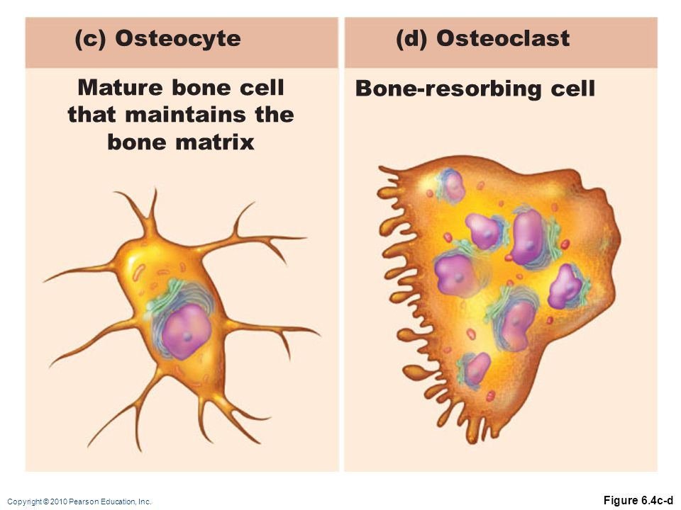 (c) Osteocyte (d) Osteoclast Mature bone cell that maintains the