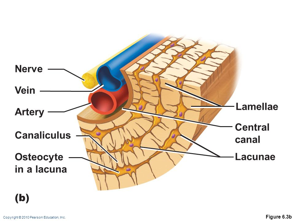 Nerve Vein Lamellae Artery Central canal Canaliculus Osteocyte Lacunae