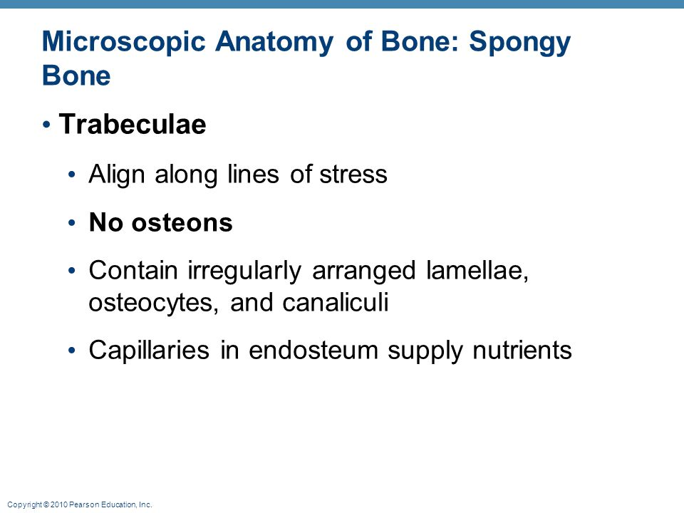 Microscopic Anatomy of Bone: Spongy Bone