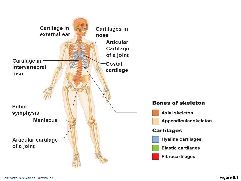 Cartilage in Cartilages in external ear nose Articular Cartilage