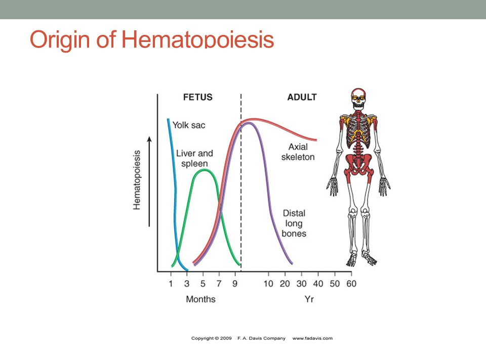 Origin of Hematopoiesis