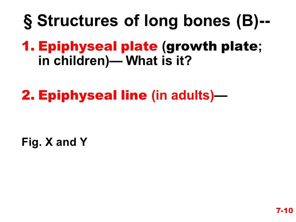 § Structures of long bones (B)--