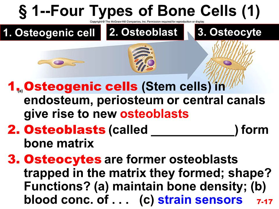 § 1--Four Types of Bone Cells (1)