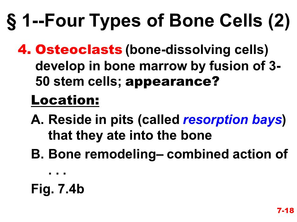 § 1--Four Types of Bone Cells (2)