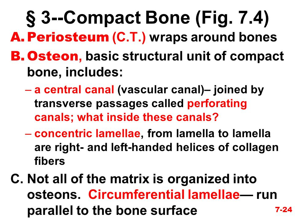 § 3--Compact Bone (Fig. 7.4) Periosteum (C.T.) wraps around bones