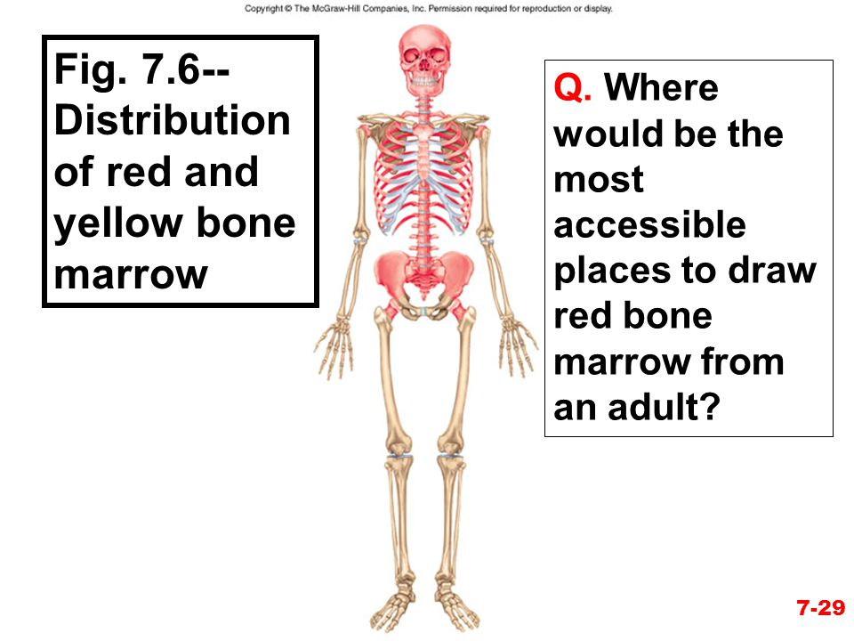 Fig. 7.6--Distribution of red and yellow bone marrow