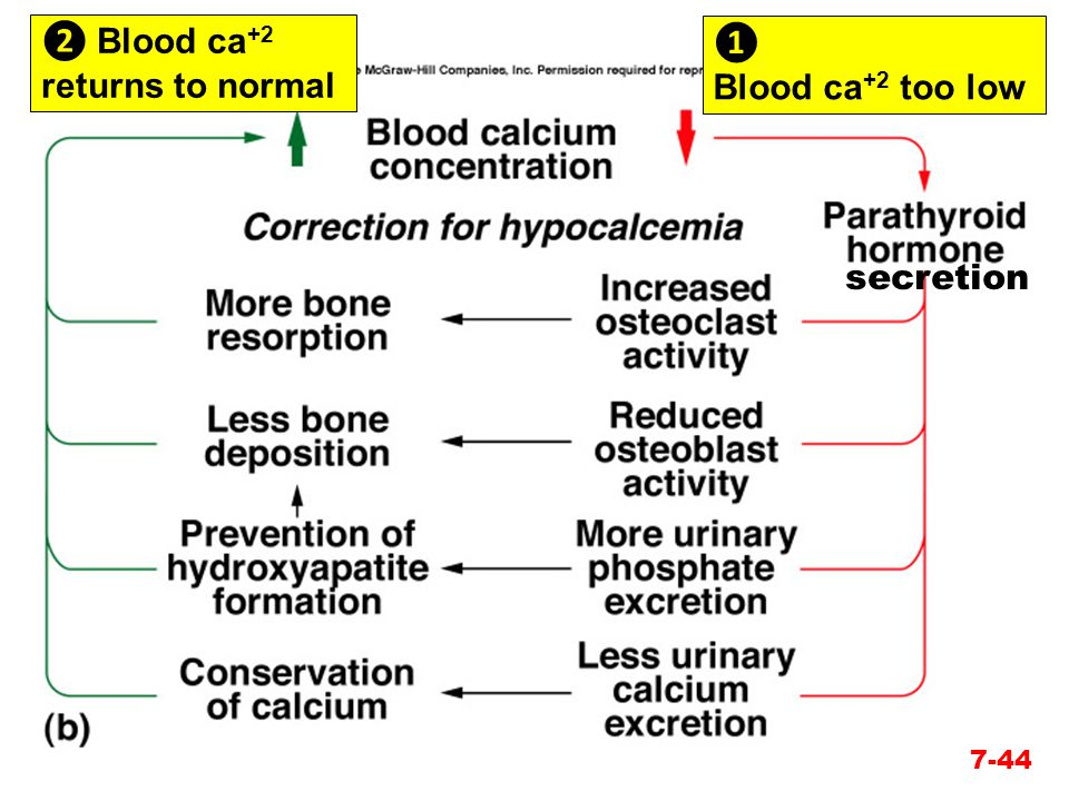 ❷ Blood ca+2 returns to normal ❶ Blood ca+2 too low