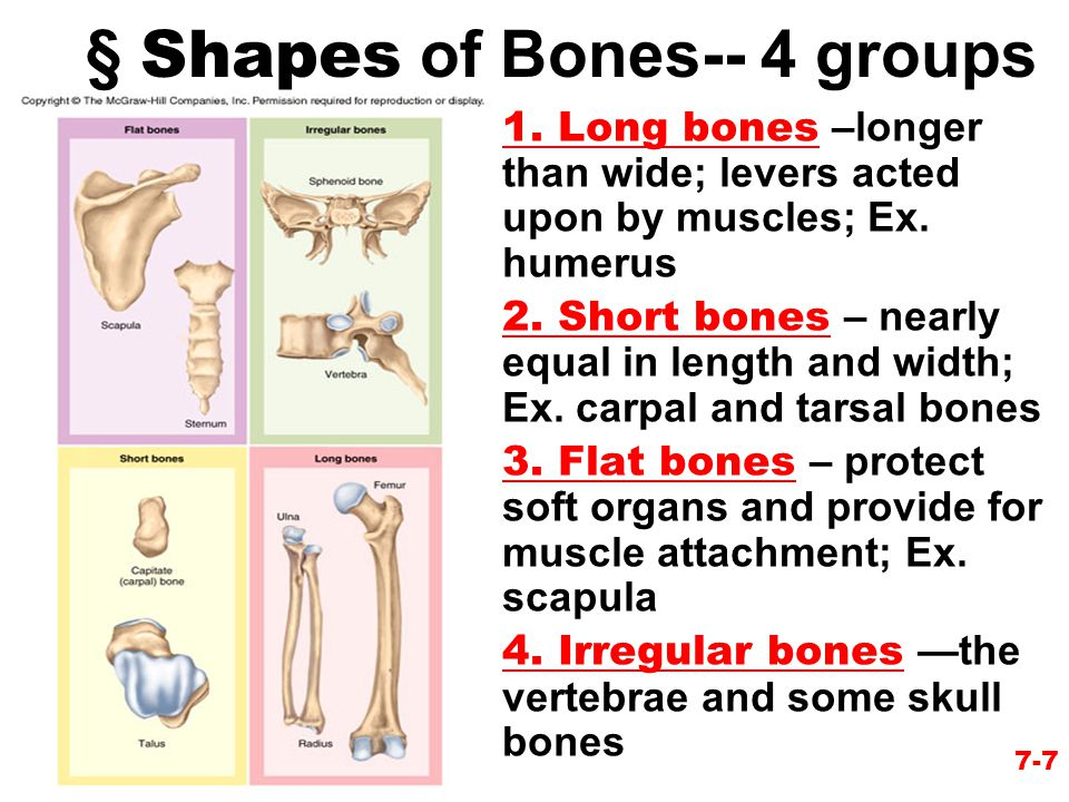 § Shapes of Bones-- 4 groups
