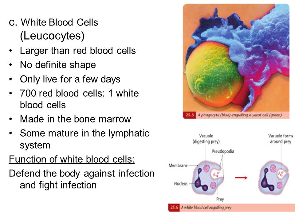 c. White Blood Cells (Leucocytes)