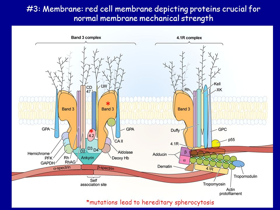 #3: Membrane: red cell membrane depicting proteins crucial for normal membrane mechanical strength