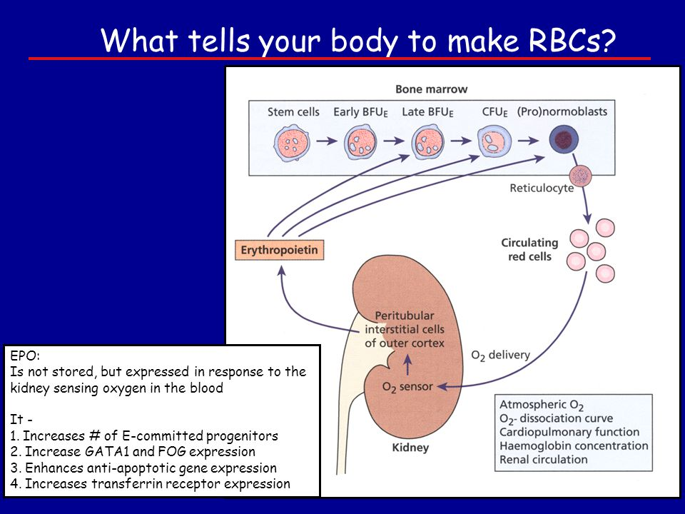 What tells your body to make RBCs