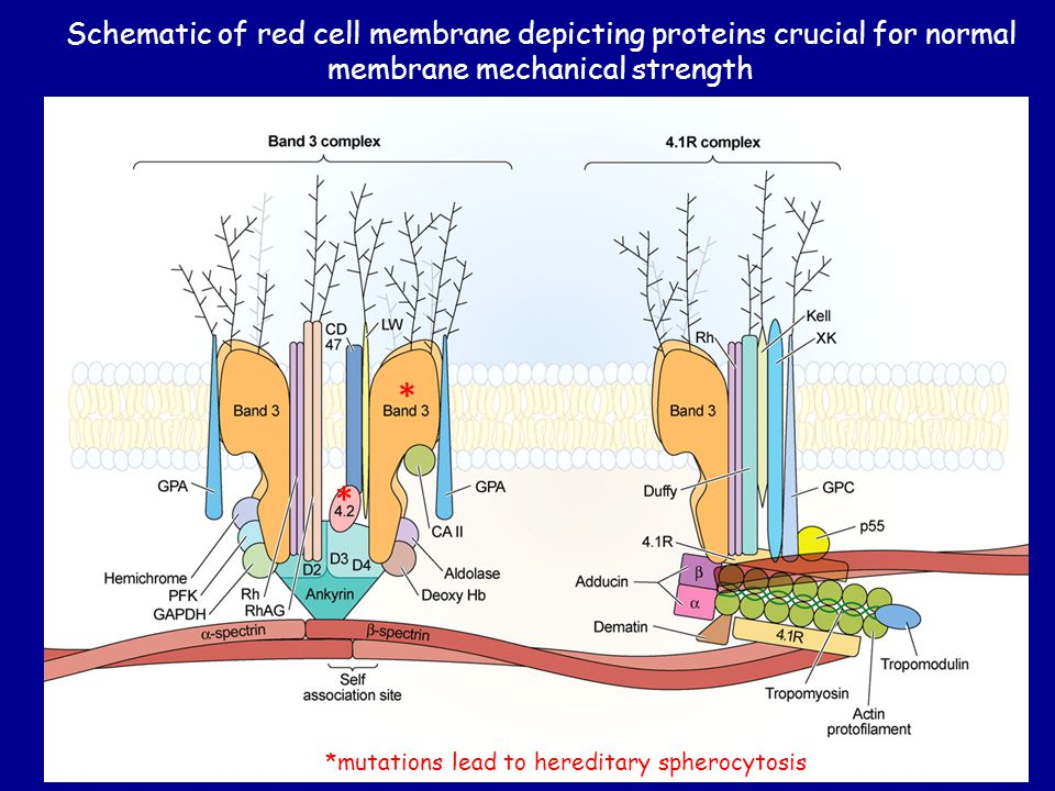 Schematic of red cell membrane depicting proteins crucial for normal membrane mechanical strength