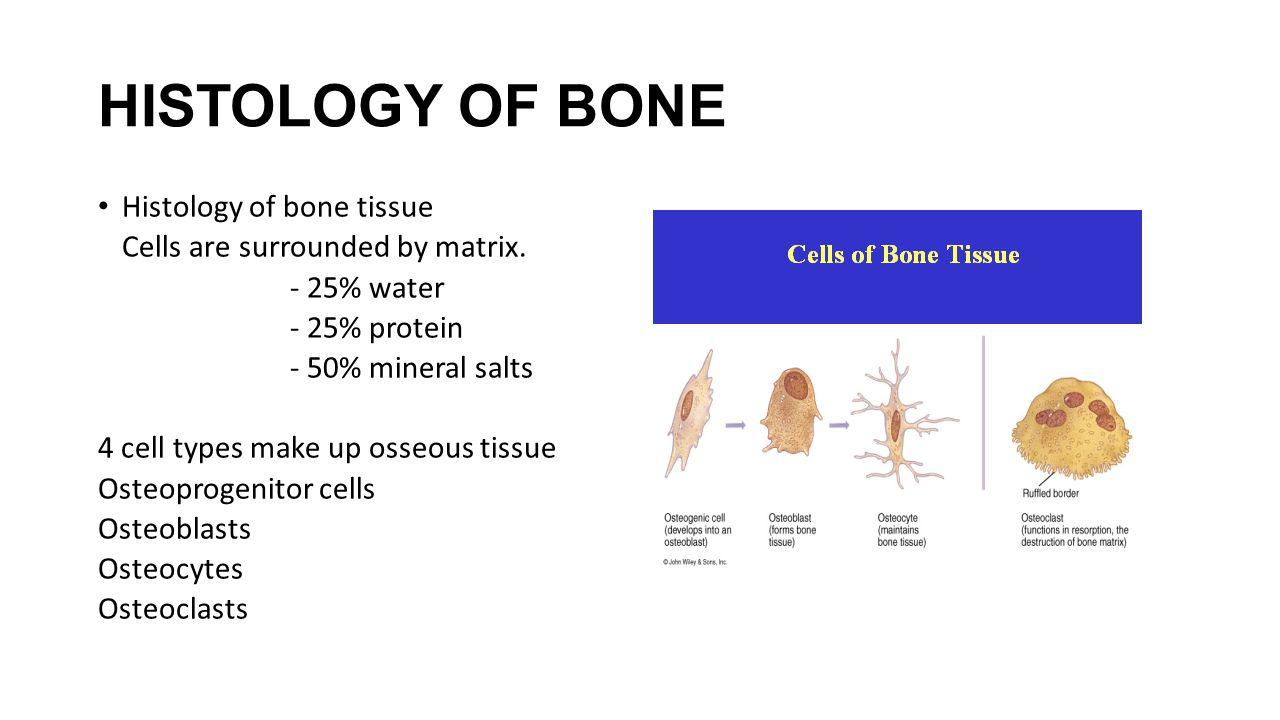HISTOLOGY OF BONE Histology of bone tissue