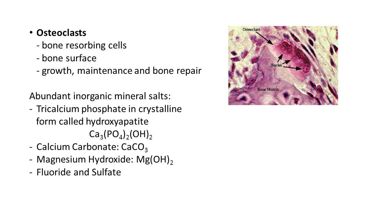 Osteoclasts - bone resorbing cells. - bone surface. - growth, maintenance and bone repair. Abundant inorganic mineral salts: