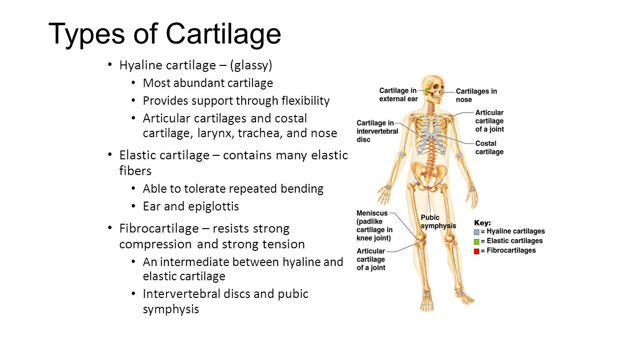 Types of Cartilage Hyaline cartilage – (glassy)