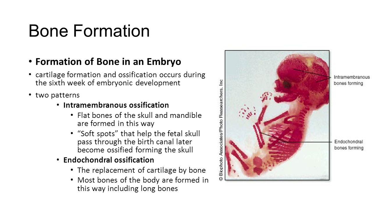 Bone Formation Formation of Bone in an Embryo