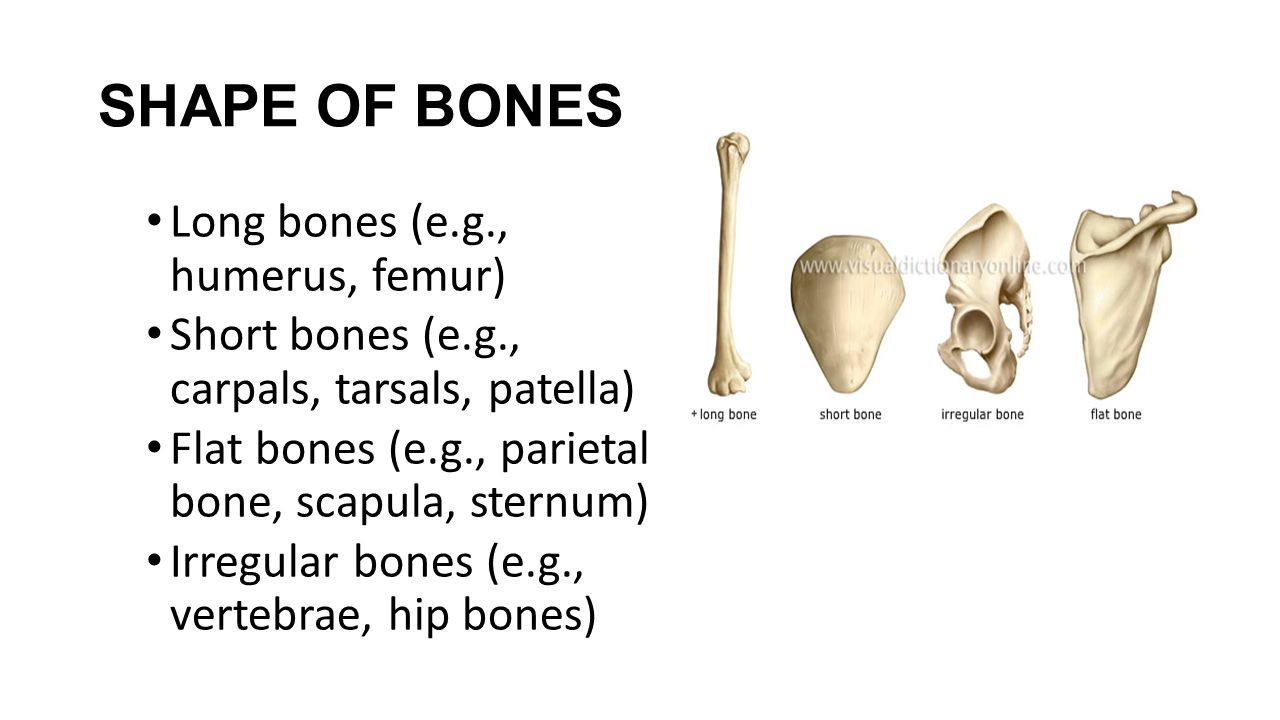 SHAPE OF BONES Long bones (e.g., humerus, femur)