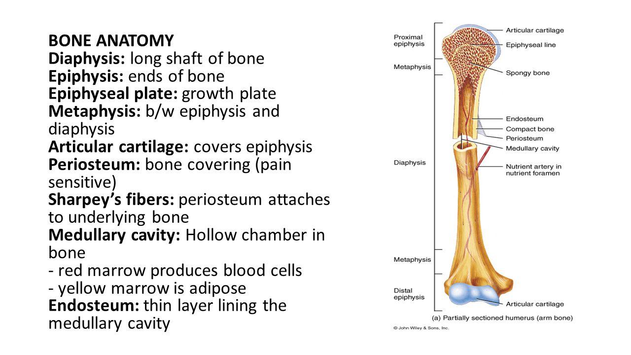 BONE ANATOMY Diaphysis: long shaft of bone. Epiphysis: ends of bone. Epiphyseal plate: growth plate.