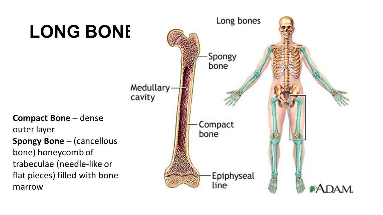 LONG BONES Compact Bone – dense outer layer