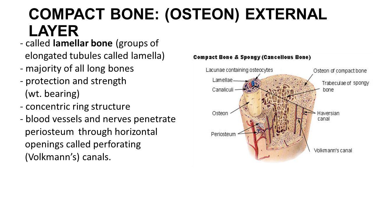 COMPACT BONE: (OSTEON) EXTERNAL LAYER