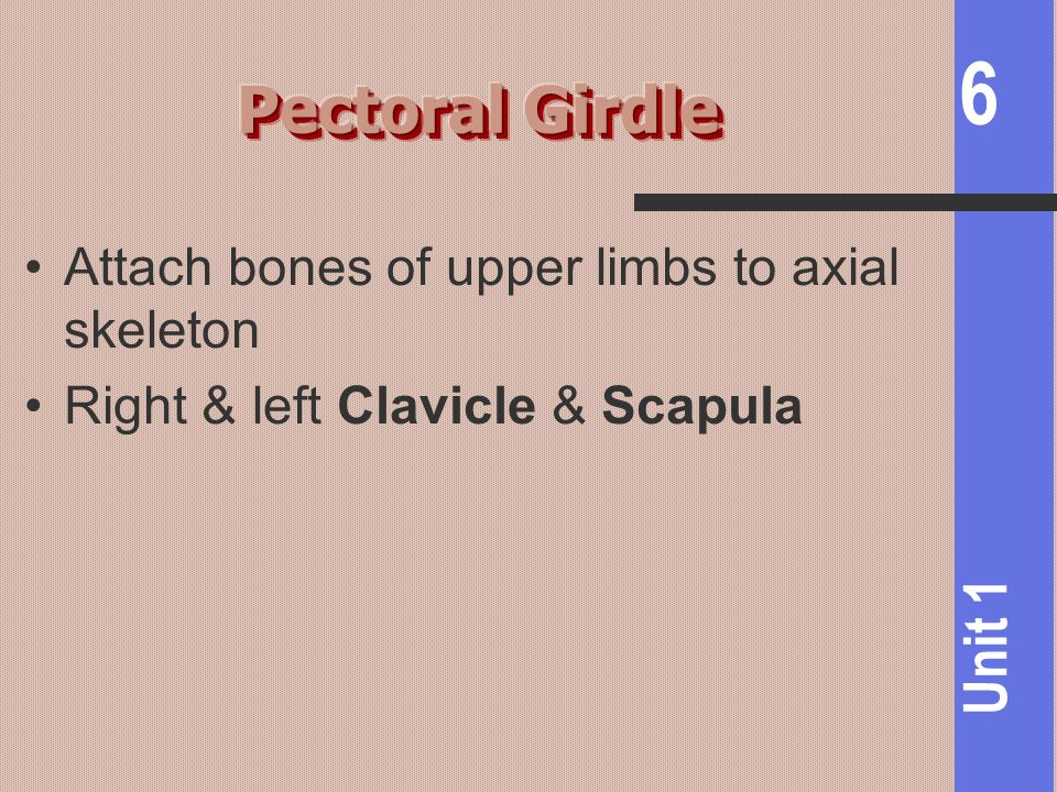 Pectoral Girdle Attach bones of upper limbs to axial skeleton