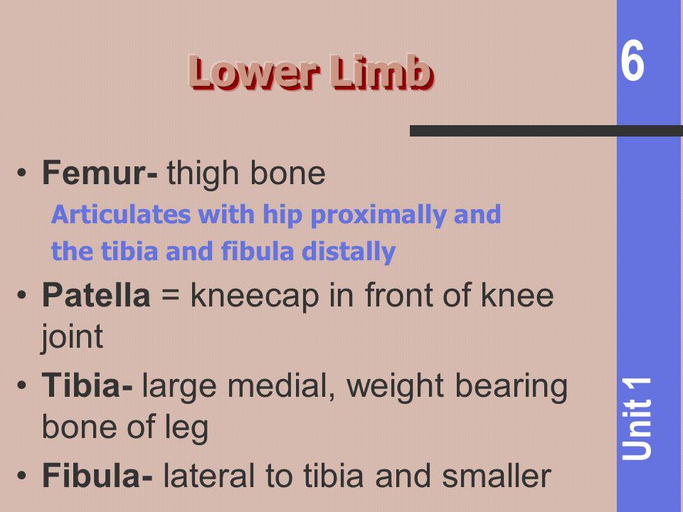 Lower Limb Femur- thigh bone Patella = kneecap in front of knee joint