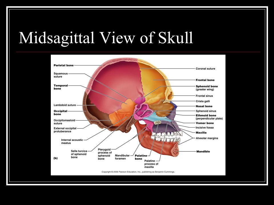 Midsagittal View of Skull