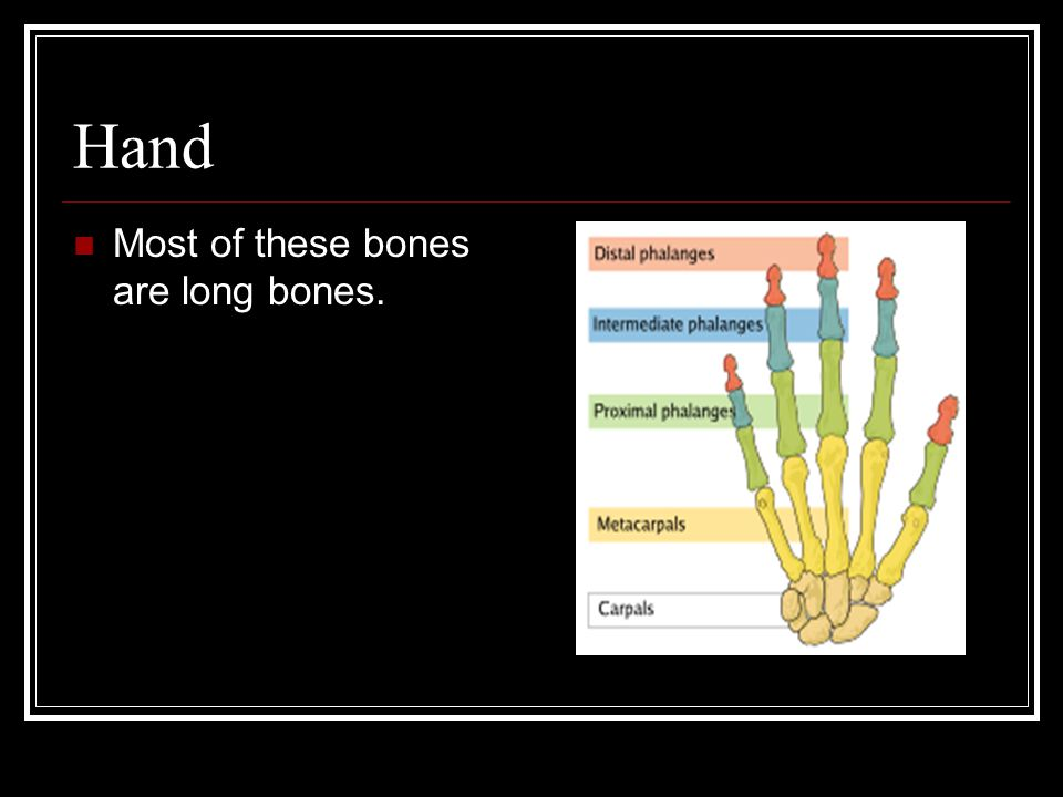 Hand Most of these bones are long bones.