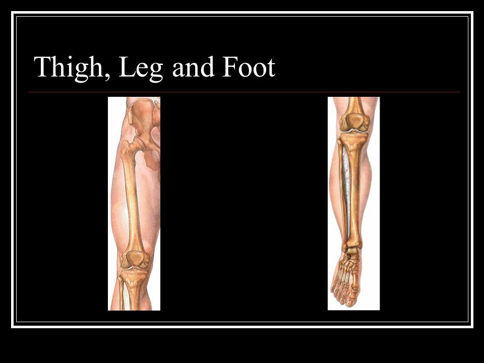 Thigh, Leg and Foot