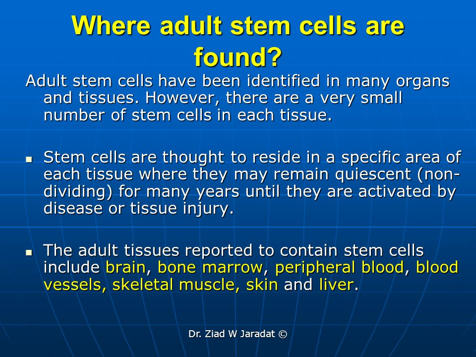 Where adult stem cells are found