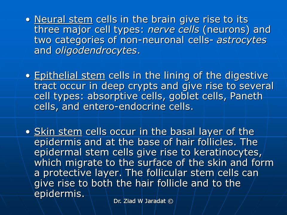 Neural stem cells in the brain give rise to its three major cell types: nerve cells (neurons) and two categories of non-neuronal cells- astrocytes and oligodendrocytes.
