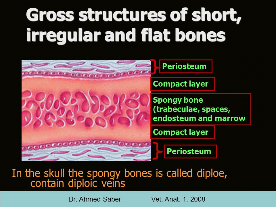 Gross structures of short, irregular and flat bones