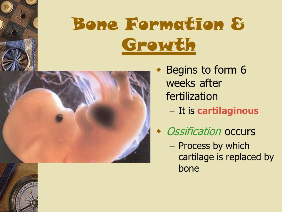 Bone Formation & Growth