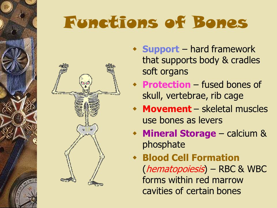 Functions of Bones Support – hard framework that supports body & cradles soft organs. Protection – fused bones of skull, vertebrae, rib cage.