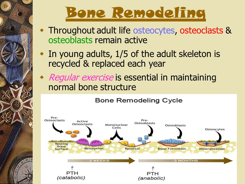 Bone Remodeling Throughout adult life osteocytes, osteoclasts & osteoblasts remain active.