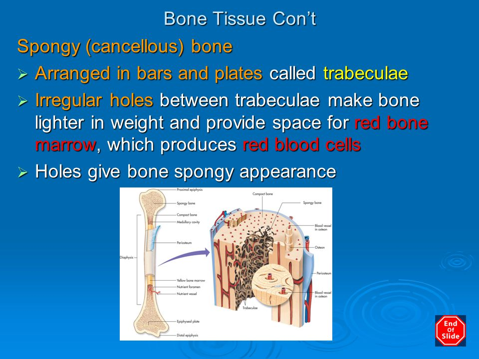 Bone Tissue Con't Spongy (cancellous) bone. Arranged in bars and plates called trabeculae.
