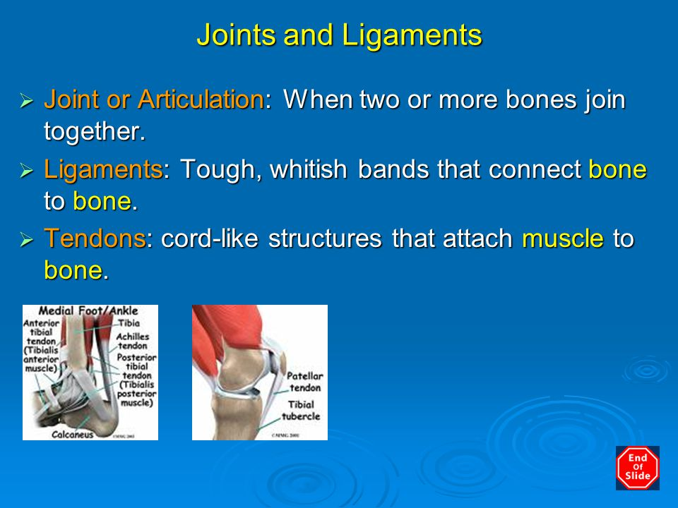 Joints and Ligaments Joint or Articulation: When two or more bones join together. Ligaments: Tough, whitish bands that connect bone to bone.